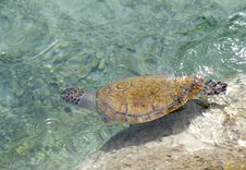 Free A Sea Turtle. Stock Photo - 30583430