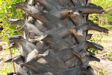 Trunk Detail Of Palm Tree Stock Image
