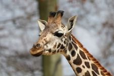Free Giraffe Royalty Free Stock Images - 30587289