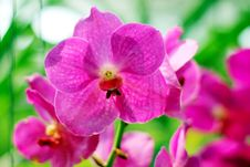 Free Orchid Stock Photography - 30589292