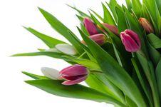 Free Tulips Royalty Free Stock Photo - 30589295