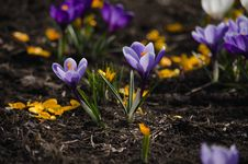 Free Purple Crocuses Stock Photography - 30589492