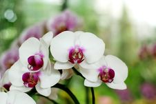 Free Orchid Stock Image - 30589701