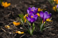 Free Purple Crocuses Royalty Free Stock Image - 30589776