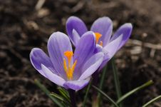 Free Purple Crocuses Royalty Free Stock Image - 30589876