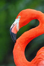 Free Flamingo Royalty Free Stock Photos - 30593408