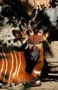 Free Antelope Stock Photo - 30593610