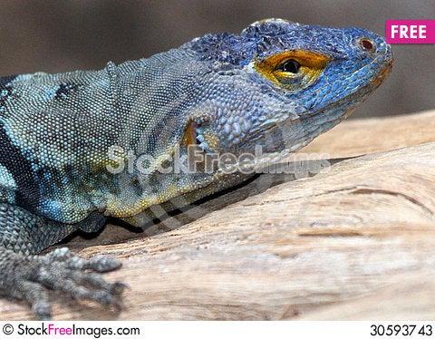 Free Lizard Stock Photos - 30593743