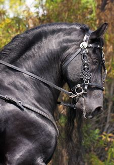 Free Magnificent Black Horse Royalty Free Stock Photo - 30591185