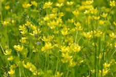 Free Yellow Wild Flowers Royalty Free Stock Photography - 30592787
