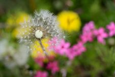 Free White Dandelion Royalty Free Stock Photography - 30592907