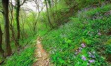 Wild Flowers In A Mountain Forest In Spring Royalty Free Stock Photography