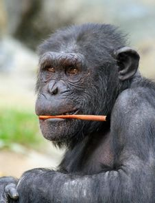 Free Chimpanzee Royalty Free Stock Photo - 30593575