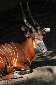 Free Antelope Royalty Free Stock Images - 30593699