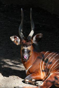 Free Antelope Stock Photo - 30593750