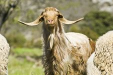 Free Brown Goat Royalty Free Stock Images - 30597219