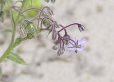 Flower Of Borago Royalty Free Stock Image