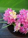 Free Aromatherapy Lantana Royalty Free Stock Photo - 3064925