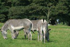 Free Zebras Stock Image - 3061801