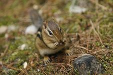 Free Curious Chipmunk Royalty Free Stock Images - 3062619