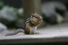Free Curious Chipmunk Stock Images - 3062624