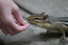 Free Curious Chipmunk Royalty Free Stock Images - 3062669