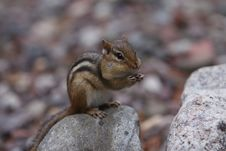 Free Curious Chipmunk Royalty Free Stock Images - 3062739