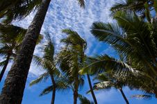 Free Palm Trees Royalty Free Stock Photography - 3063237