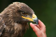 Free Eagle And Hand Stock Photography - 3064442