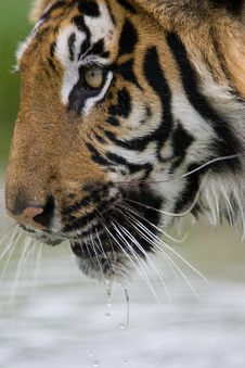 Free Tiger Drinking Royalty Free Stock Images - 3064649