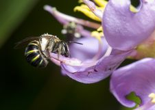 Free Bee At Work Royalty Free Stock Photography - 3065157