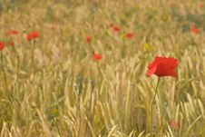 Poppies And Corn Royalty Free Stock Photo
