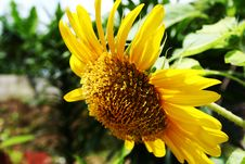 Free Sunny Sunflower Side Profile Royalty Free Stock Images - 3066119