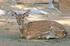 Free Spotted Deer Royalty Free Stock Images - 3068499