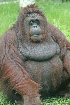 Free Orangutan Royalty Free Stock Image - 3068506