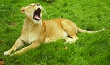 Free Lioness Yawning Stock Image - 3069151