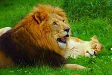 Free Lion Licking Blood Stock Images - 3069444