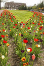 Free Beautiful Tulip Beds Are In Full Bloom. Royalty Free Stock Photos - 30607538