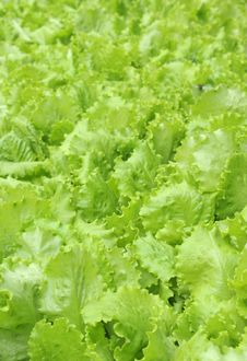 Lettuce Leaves Stock Photos