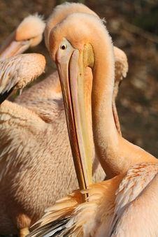 Free Pelican Royalty Free Stock Photography - 30606767