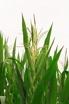 Free Corn Blossoming. Stock Image - 30608981