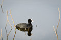 Free Reflected Coot Royalty Free Stock Photos - 30613538