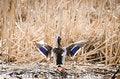 Free Wings Of Mallard Duck Stock Photos - 30613543
