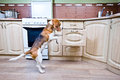 Free Dog In Kitchen Stock Photography - 30615862