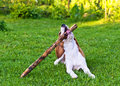 Free Dog Plays With  Stick Royalty Free Stock Photos - 30615868