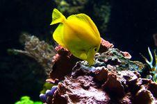Yellow Tang Fish Stock Photo
