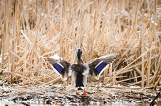 Free Wings Of Mallard Duck Stock Photos - 30613543