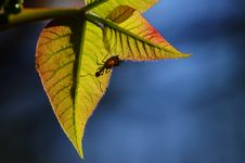Free Ant And Fresh Leaves Stock Photography - 30616162