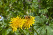 Free Bee Royalty Free Stock Photo - 30619855