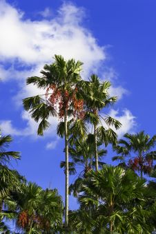 Free Palm Tree. Stock Image - 30619911